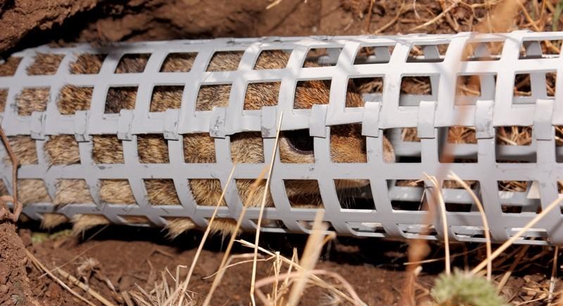 За улавянето на лалугерите се използват специални живоловни капани, които не нараняват животните. © Димитър Градинаров